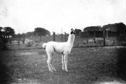 Whipsnade Zoo, 1928
