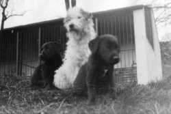Whiskey and the Labrador Pups, 1933