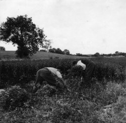 'Ronnie' and 'Pa' collecting Mint, 1959