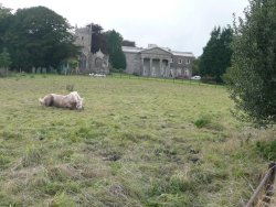 'Kissy' having a roll in the grass at Buckland House, Devon